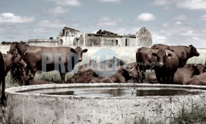 Cattle at cement dam | ProSelect-images
