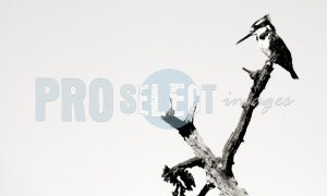 Ceryle rudis_Pied Kingfisher | ProSelect-images