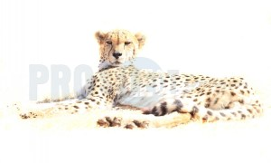 Cheetah resting | ProSelect-images