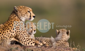 Cheetah with Cubs | ProSelect-images