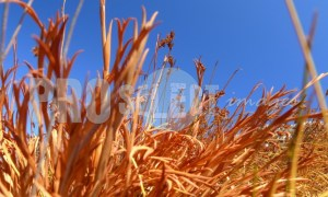 Dry grass Table Mountain | ProSelect-images