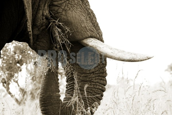Elephant bull tusks and trunk   ProSelect-images