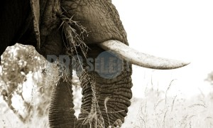Elephant bull tusks and trunk | ProSelect-images