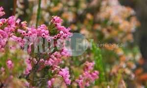 Erica hirtiflora Western Cape | ProSelect-images