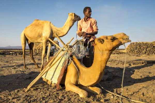 Afar man with his camels   ProSelect-images