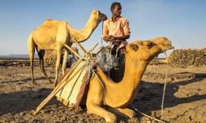 Afar man with his camels | ProSelect-images