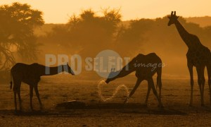 Giraffa camelopardalis at waterhole | ProSelect-images