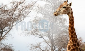 Giraffe in the mist | ProSelect-images