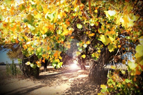 Oak trees in autumn colours | ProSelect-images