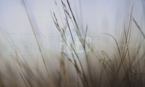 Grass in foggy morning   ProSelect-images