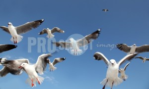 Gray headed gull cackling | ProSelect-images