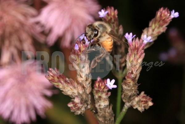 Honeybee on sucking nectar   ProSelect-images