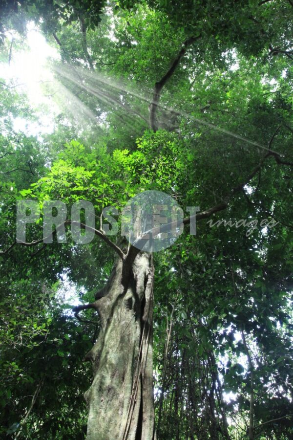 Indigenous tree Dlinza forest | ProSelect-images