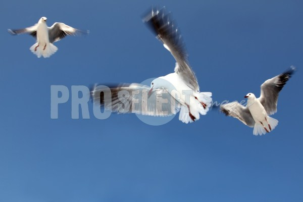 Larus cirrocephalus Hout Bay   ProSelect-images