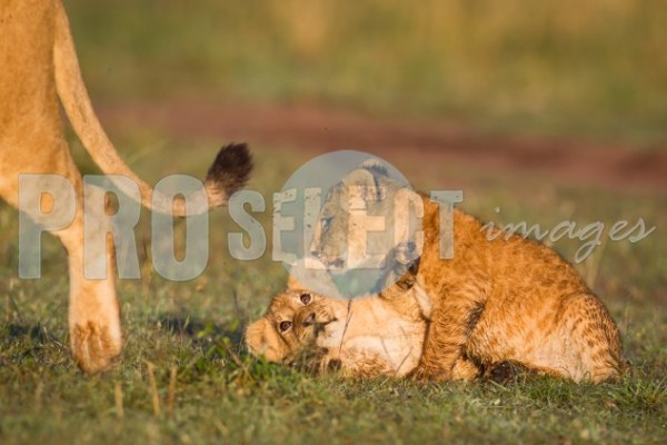 Lion cubs playing | ProSelect-images
