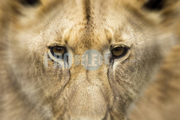 Lion face | ProSelect-images
