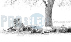 Lion siesta | ProSelect-images