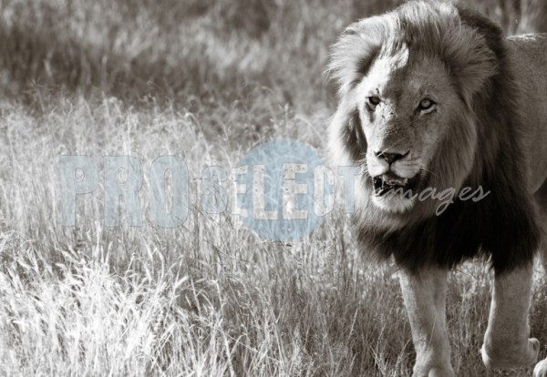 Male lion walking | ProSelect-images