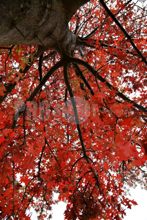 Oak tree in autumn red colours | ProSelect-images