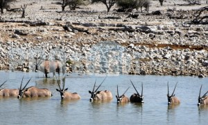 Oryx drinking | ProSelect-images