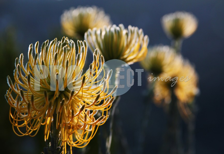Proteaceae Luisiesboom protea | ProSelect-images
