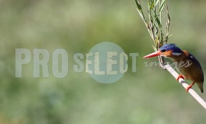 Pygmy Kingfisher | ProSelect-images