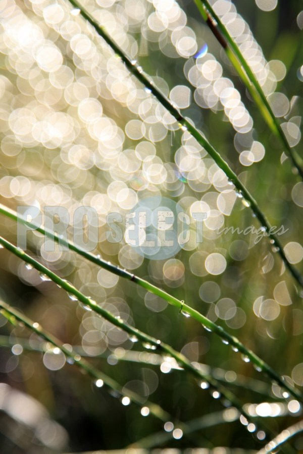 Raindrops on cape reed | ProSelect-images