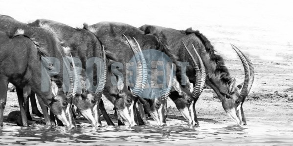 Sable Antelope drinking | ProSelect-images