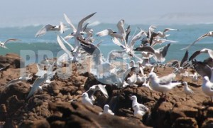 Seagulls and terns | ProSelect-images