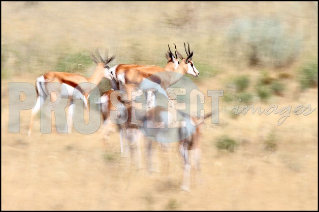 Springbok herd grazing | ProSelect-images