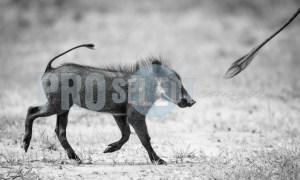 Warthog tailgating its mother | ProSelect-images