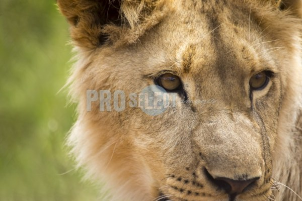 Young Lion face close-up | ProSelect-images