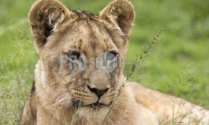 Young male lion | ProSelect-images