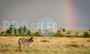 Zebra and rainbow Serengeti | ProSelect-images