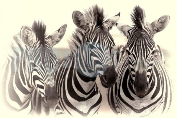Zebra fowl trio Rietvlei   ProSelect-images