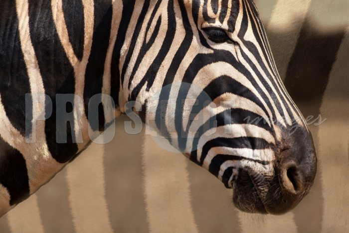 Zebra head pattern profile | ProSelect-images