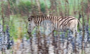 Zebra moving camouflage | ProSelect-images