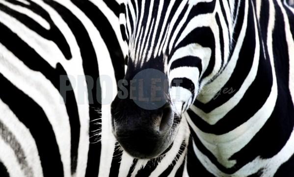 Zebra_black and white | ProSelect-images