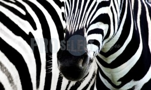 Zebra_black and white | ProSelect-images