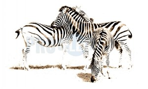 Zebras grooming | ProSelect-images