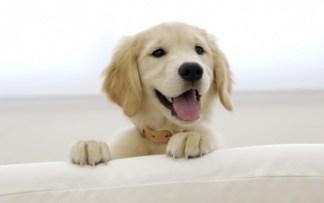 Картинки по запросу лабрадор ретривер щенки