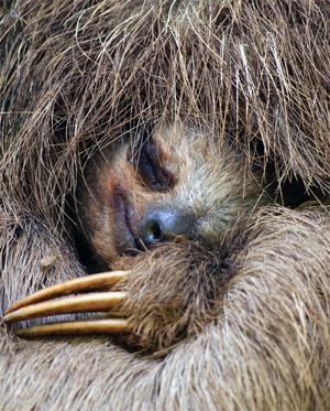 Un bradipo particolarmente attivo. Photocredits: © Vilainecrevette