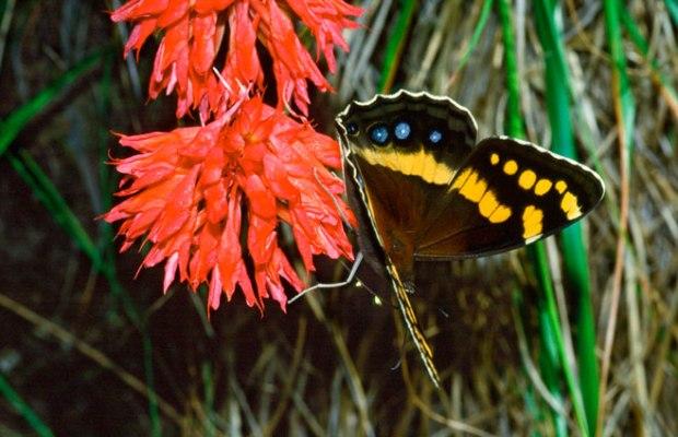 Disa ferruginea è una orchidea del sud africa, che sfrutta come impollinatore Aeropetes tubalghia, la farfalla dalla lunga proboscide che vedete nella foto.