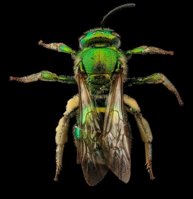 """Augochloropsis metallica, una bellissima ape """"del sudore"""". Si orienta con il suo ultra-sensibile olfatto, che però a volte la porta a seguire false tracce, come quando segue il sudore umano, da cui è stranamente attratta."""