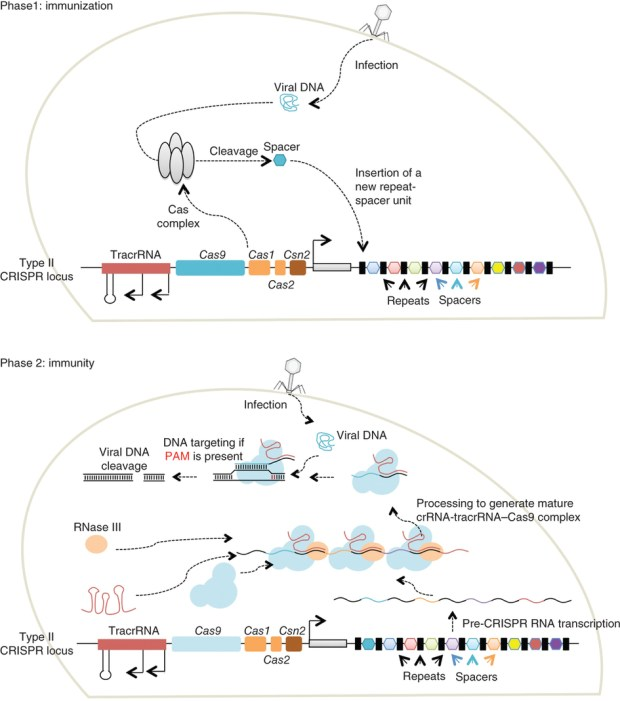 Schemino riassuntivo da Nature Metods su CRISPR come sistema di immunità adattativa