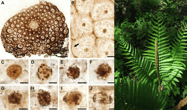"""Uno dei """"fossili viventi"""" sulla destra, e l'immagine 1 dal paper con la microscopia del fossile"""