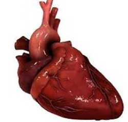 serdce (4) - Како да ги проверите индикациите на крвните садови на телото за такви студии