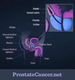 the prostate gland and nearby structures [ 1000 x 1000 Pixel ]