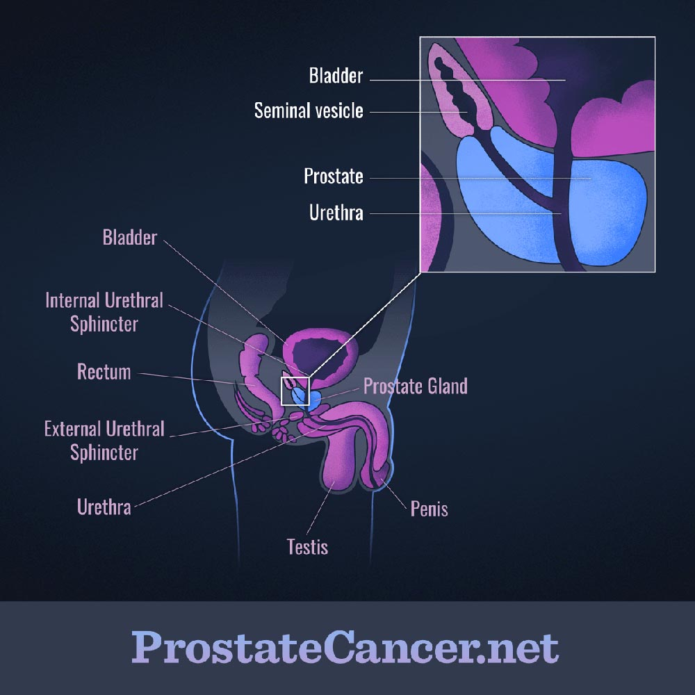 medium resolution of the prostate gland and nearby structures