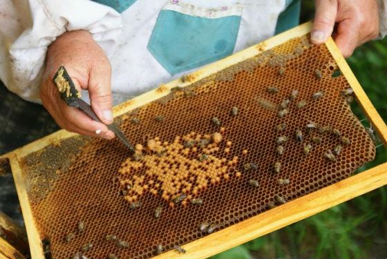 Méh tej kezelése prostatitis